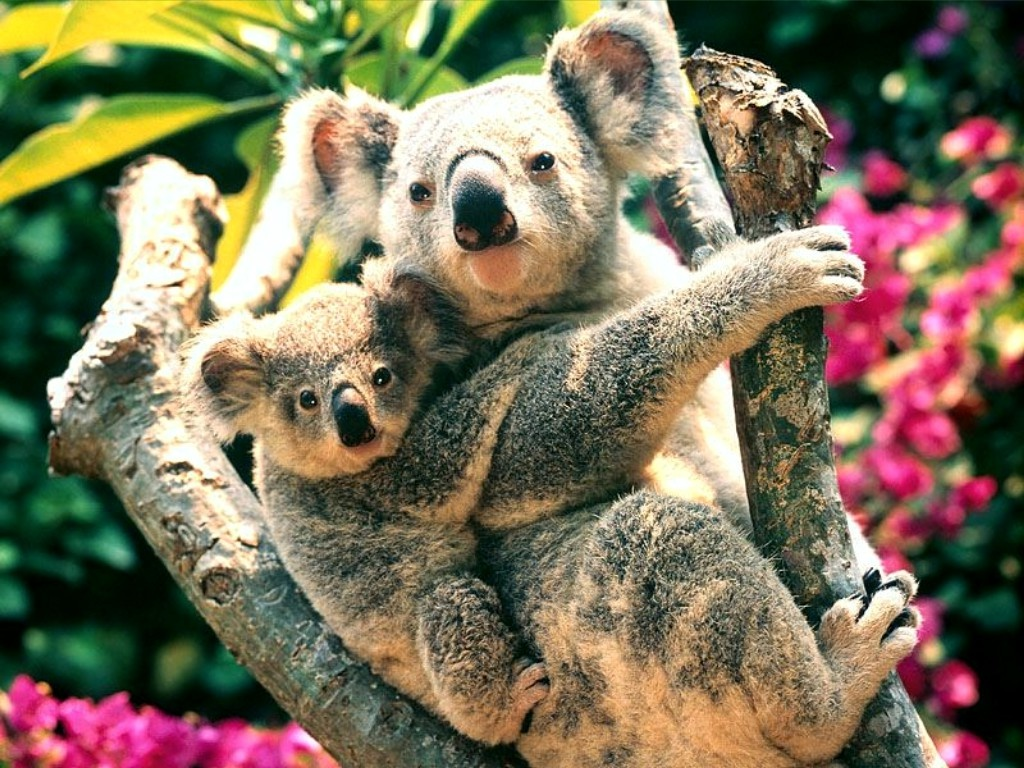 Baby Koala Bears 1024x768