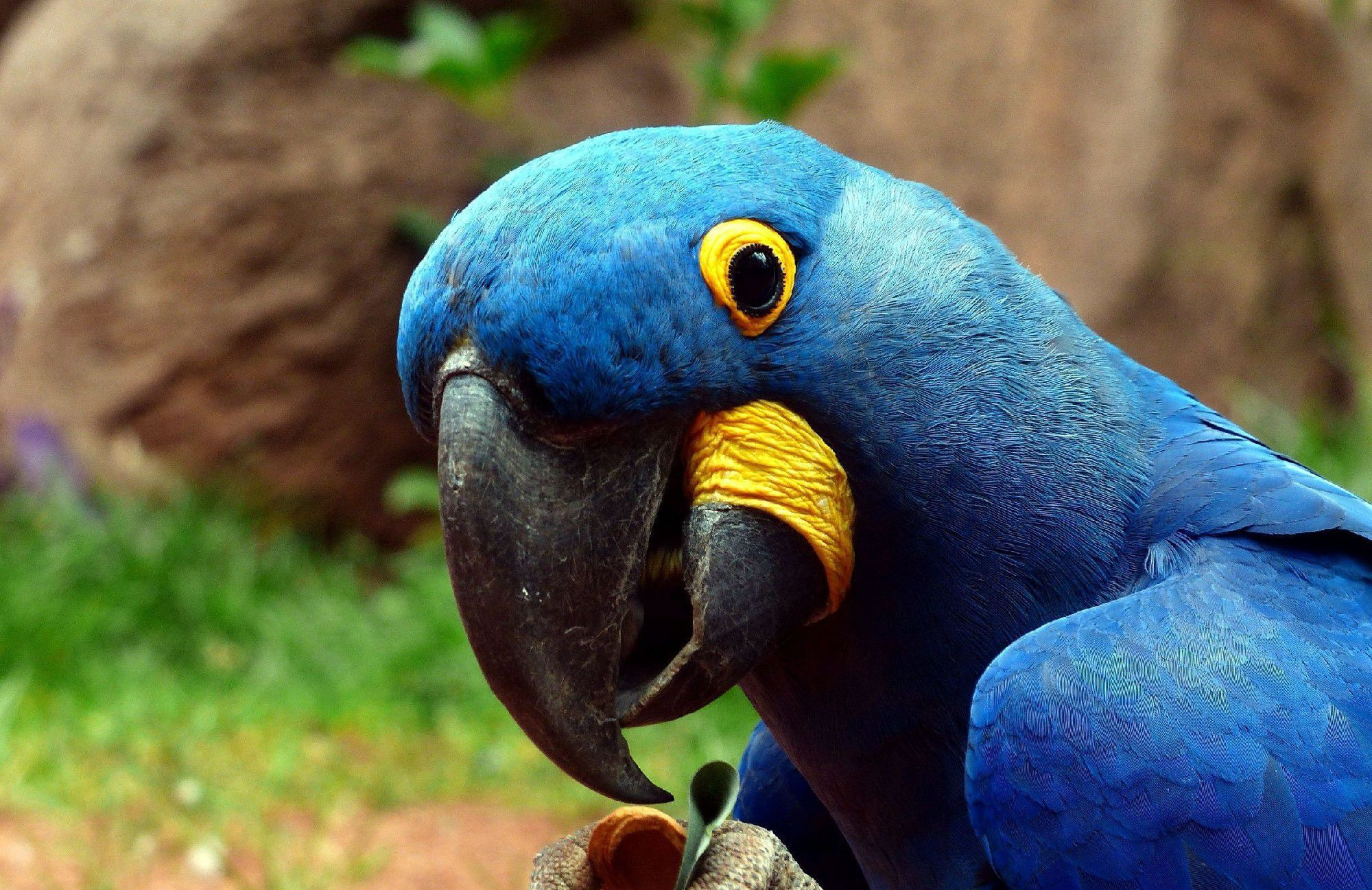 Blue Parrot Wallpapers Backgrounds 2000x1297