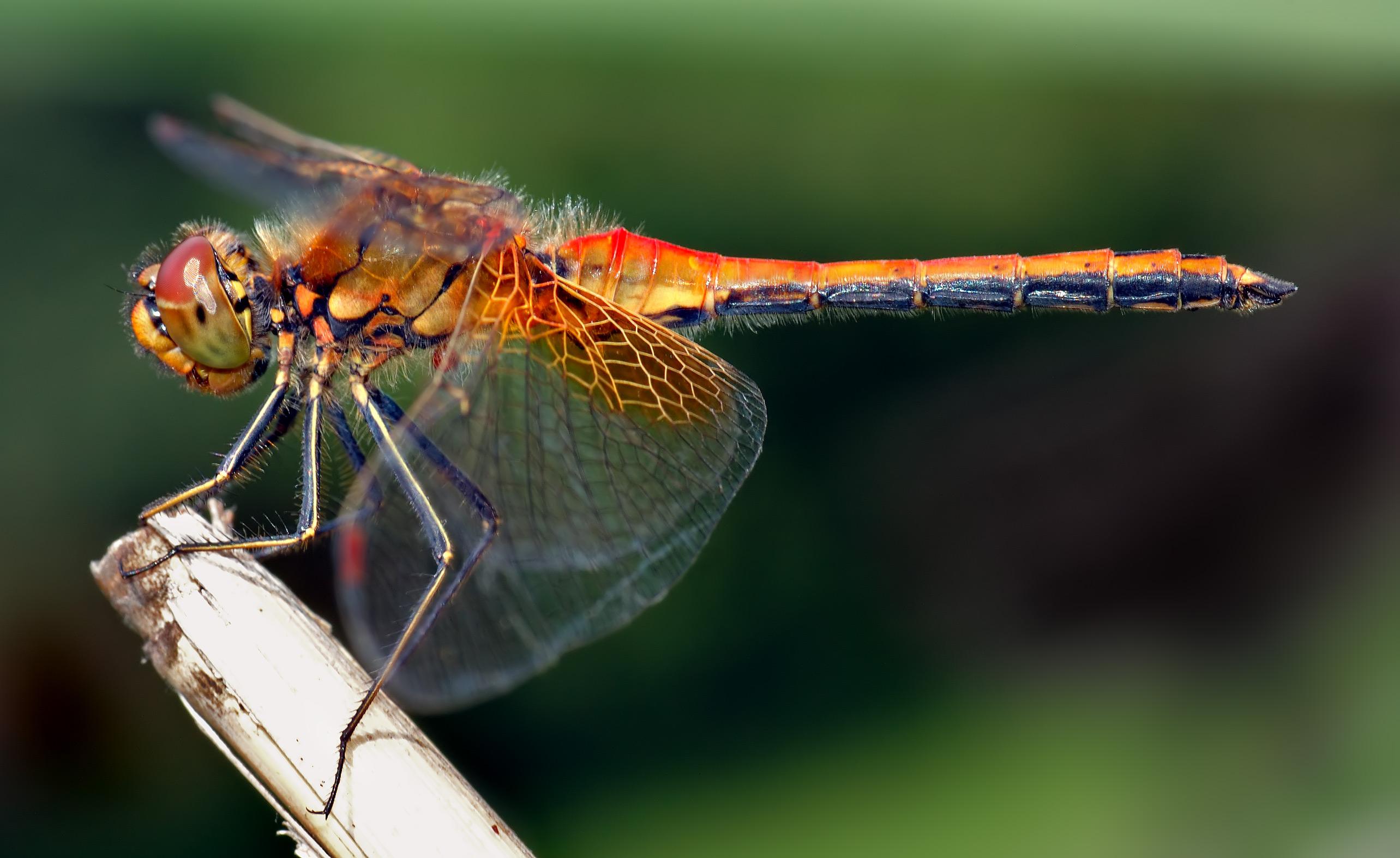Dragonfly Wallpaper 2567x1574