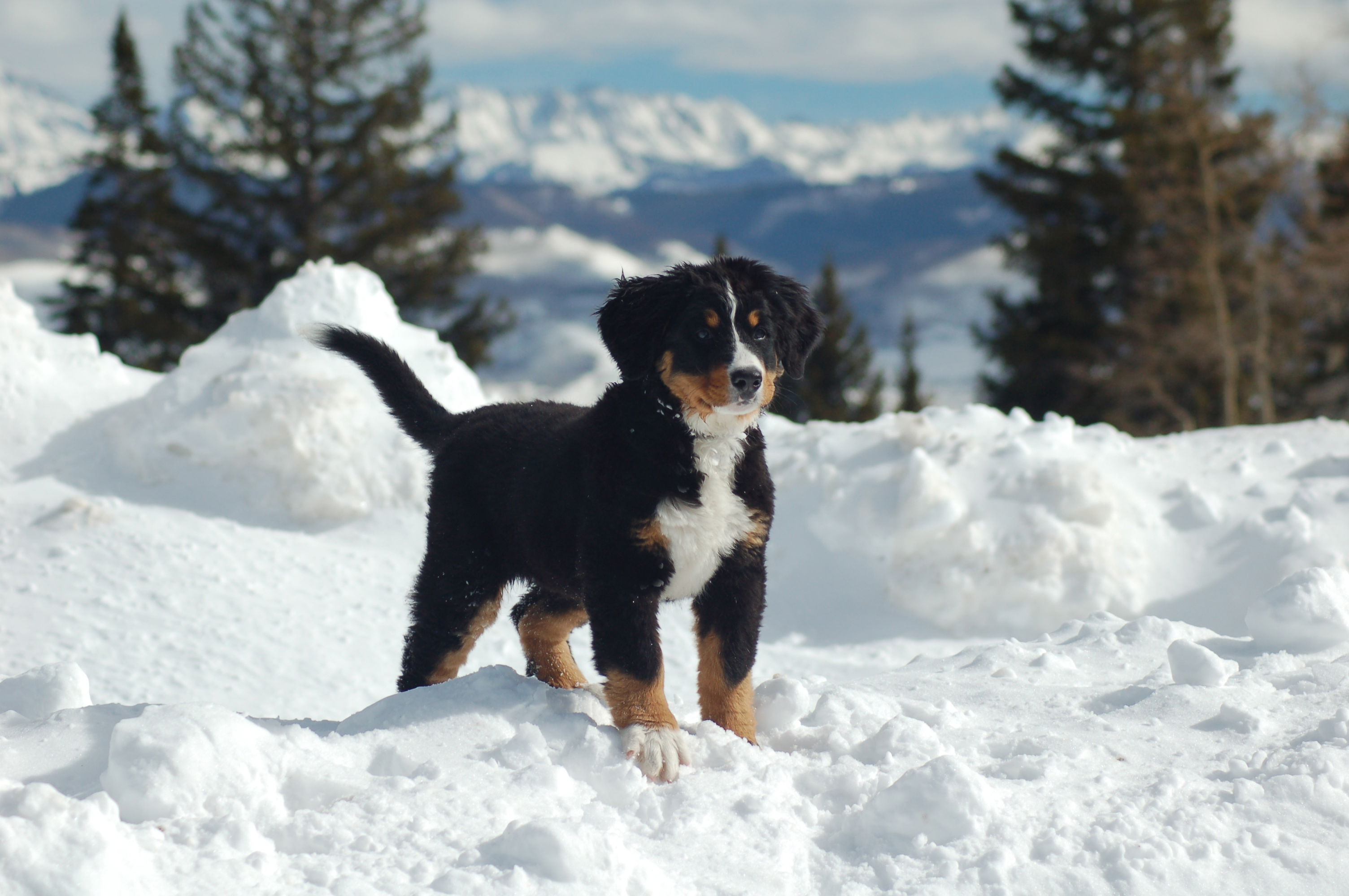 Mountain dog puppy in the snow wallpapers and images   wallpapers 3008x2000