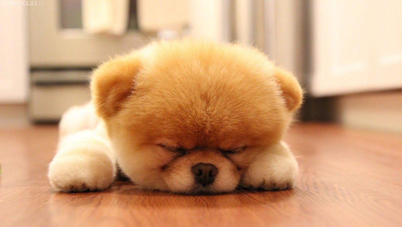 Download Sweet Boo Dog Sleep Wallpaper 1600x902 Full HD Wallpapers 1600x902