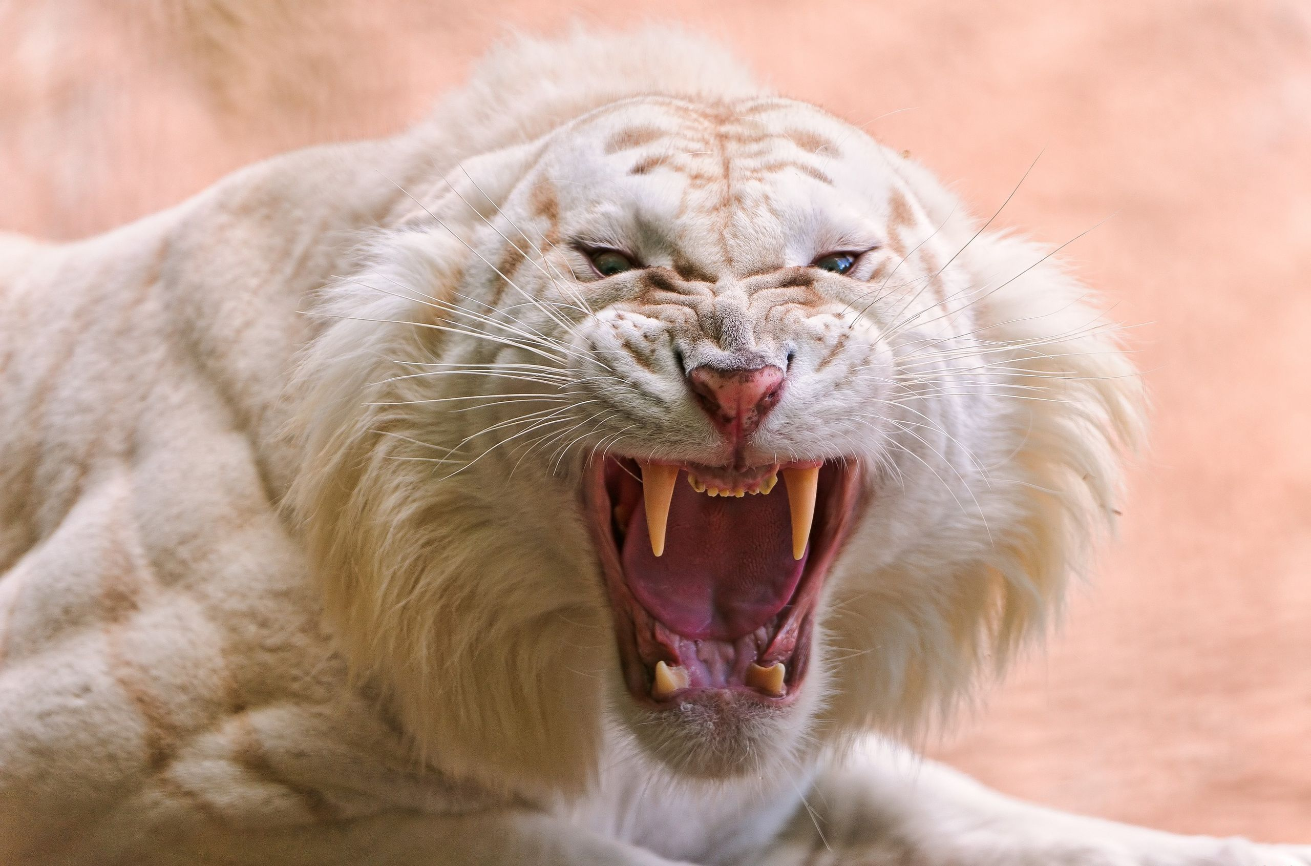 white tiger Tooth Wallpaper HD Wallpapers 2560x1690