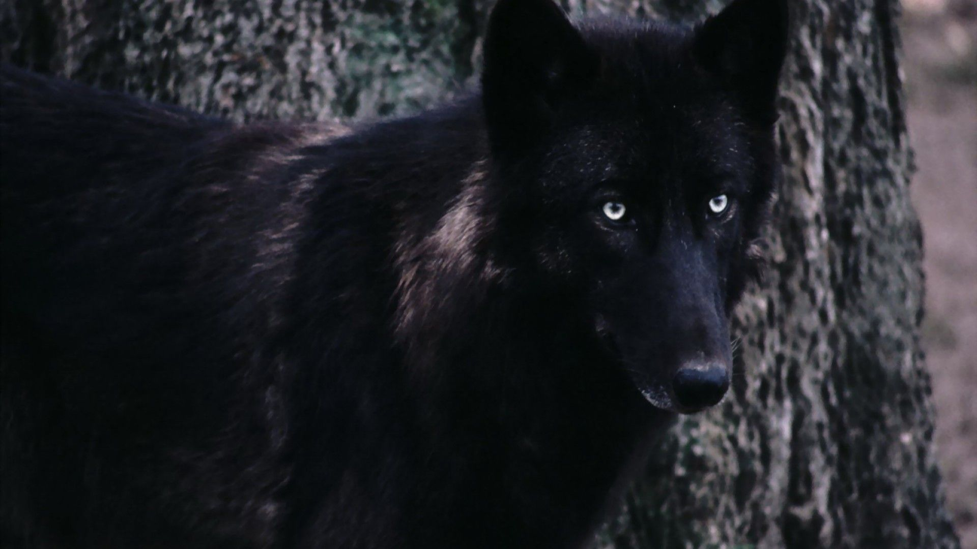 70 Black Wolf Wallpaper On Wallpapersafari