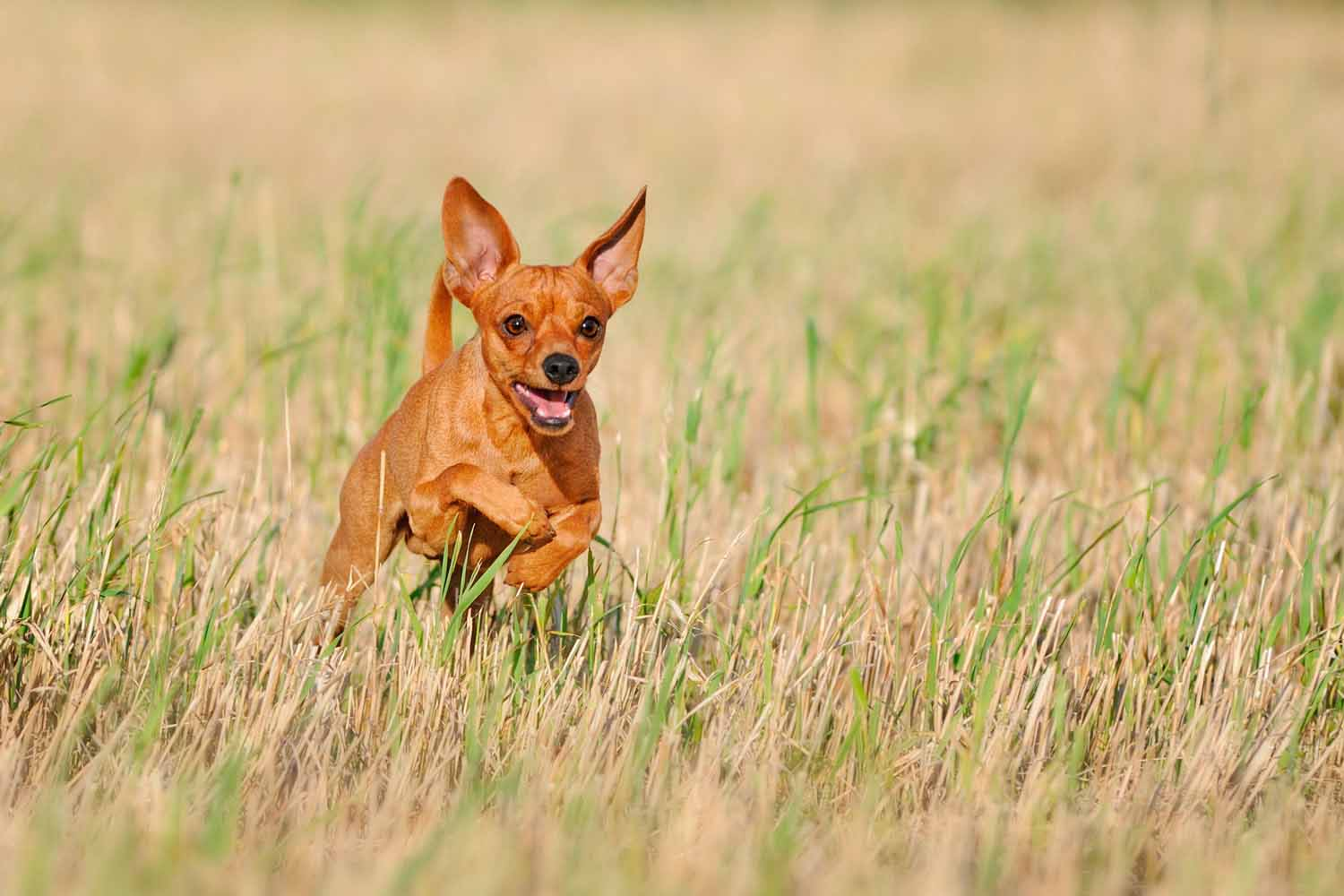Miniature Pinscher Wallpapers C a r W a l l p a p e r 2014 1500x1000