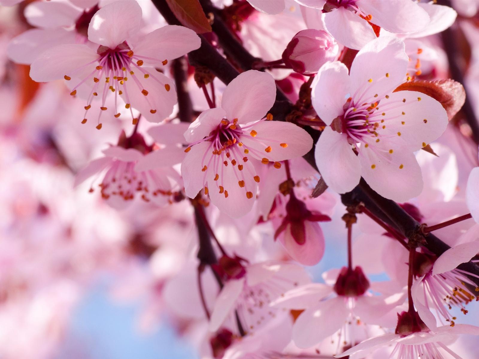 Pink Cherry Blossom   Flowers Photo 34658308 1600x1200