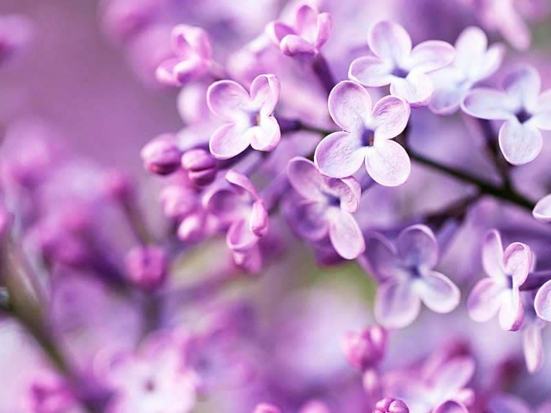 Spring Purple Flowers 800x600 PC Android iPhone and iPad Wallpapers 800x600
