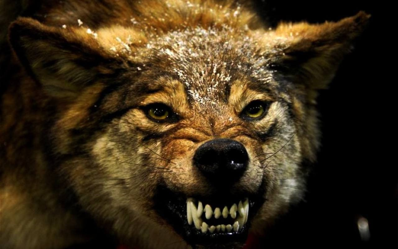 55 Angry Animal Wallpapers   Download at WallpaperBro 1280x800