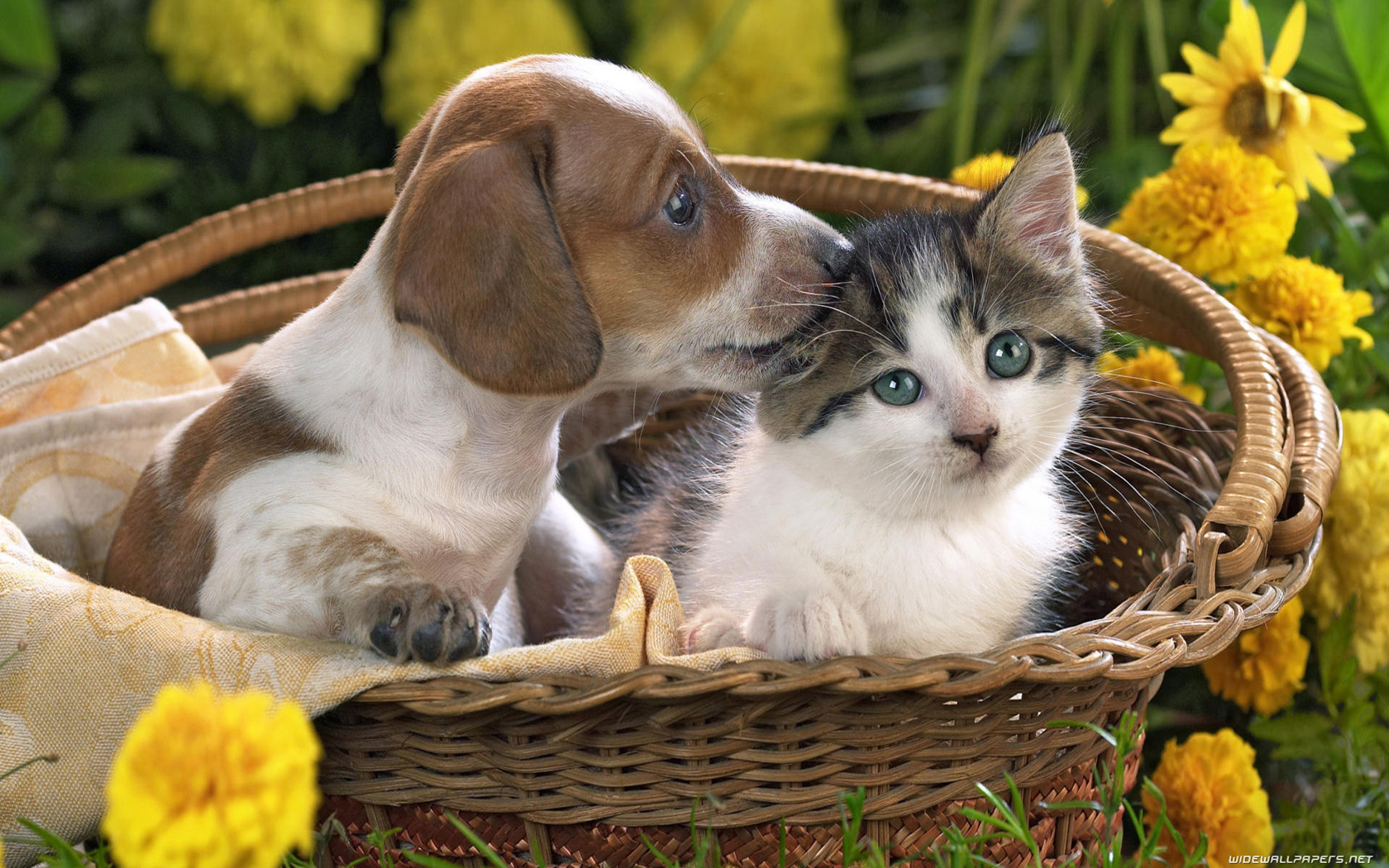 Cats and Dogs desktop wallpapers HD and wide wallpapers 1680x1050