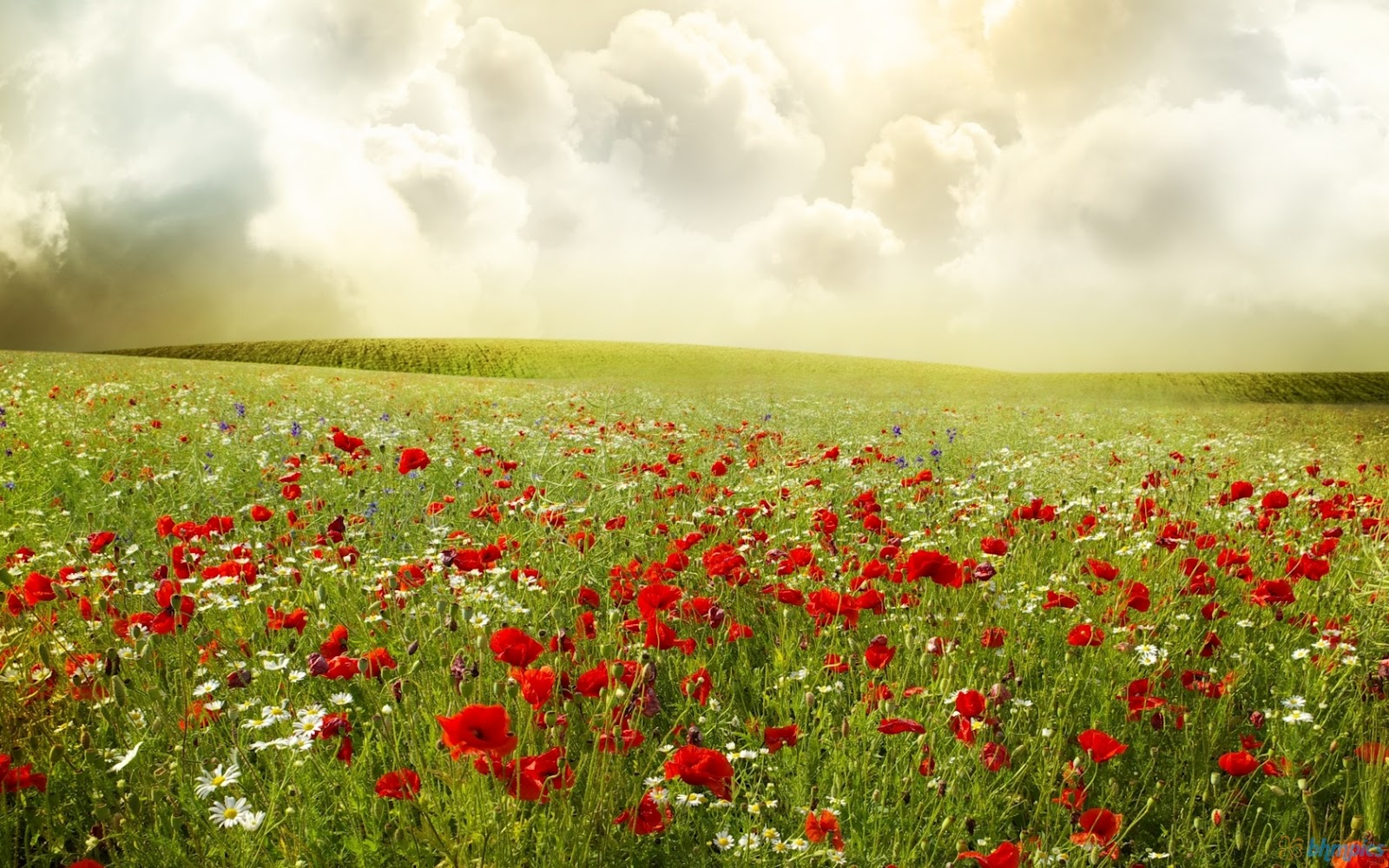 wallpaper red poppies field and clouds wallpaper download for 1600x1000