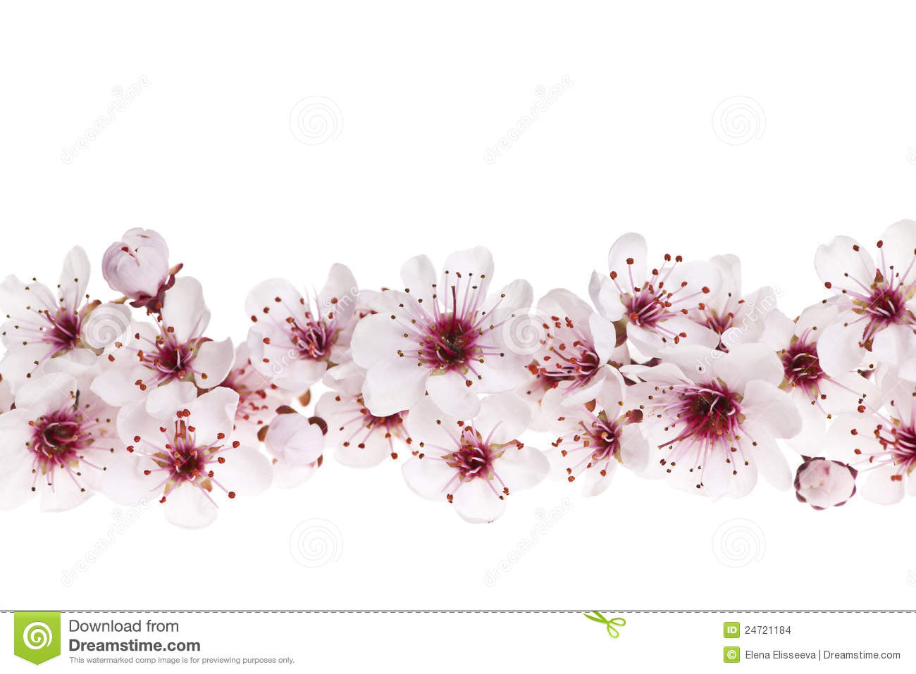 Border Of Beautiful Cherry Blossom Flowers On White Background 1300x957