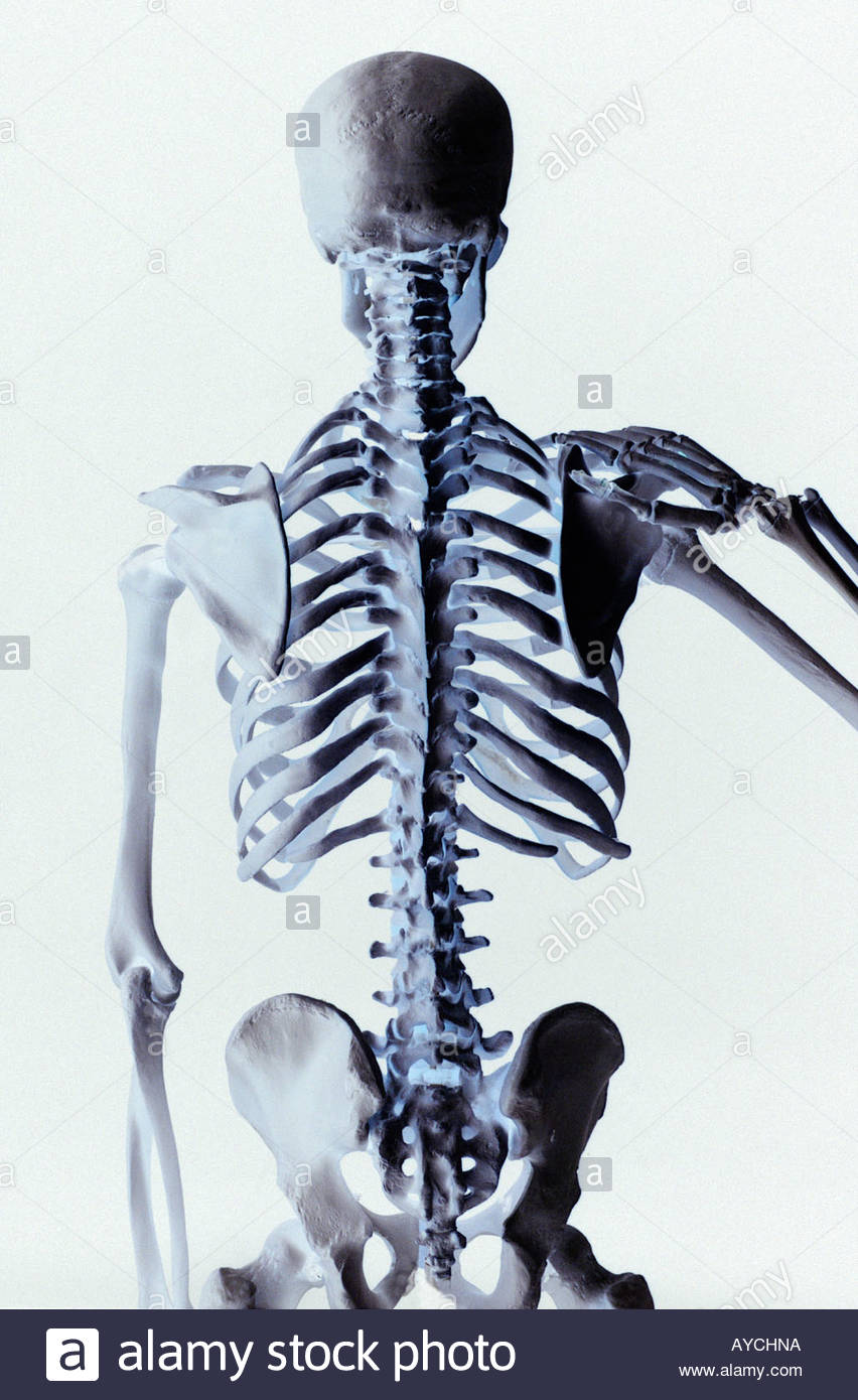 Rear view of a human skeleton showing the vertebrae back bone and 852x1390