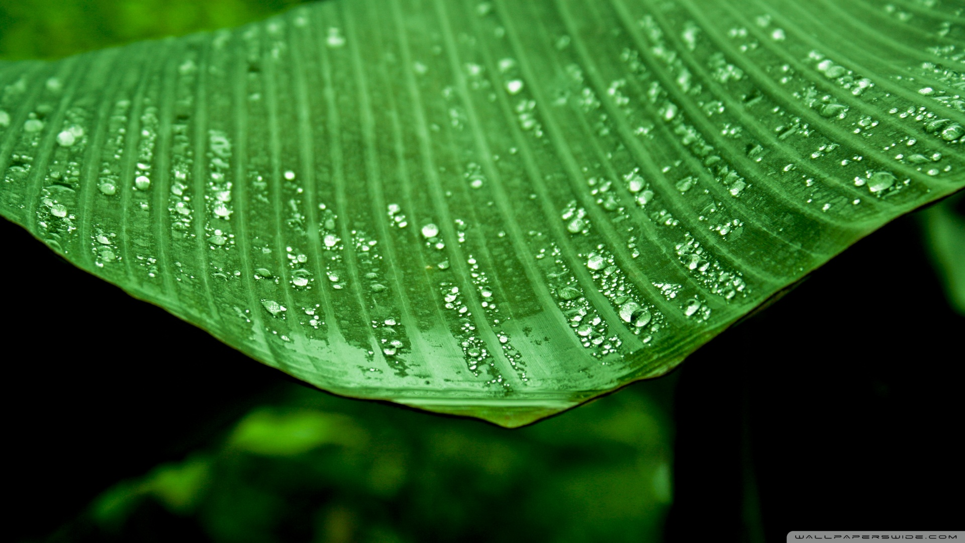 Wet Banana Tree Leaf Wallpaper 1920x1080 Wet Banana Tree Leaf 1920x1080