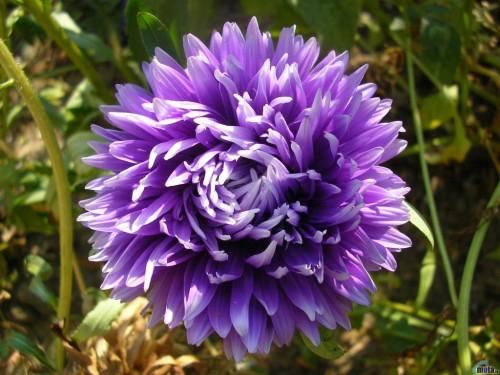 Purple Flower Screensaver Screensavers   Download Purple Flower 500x375