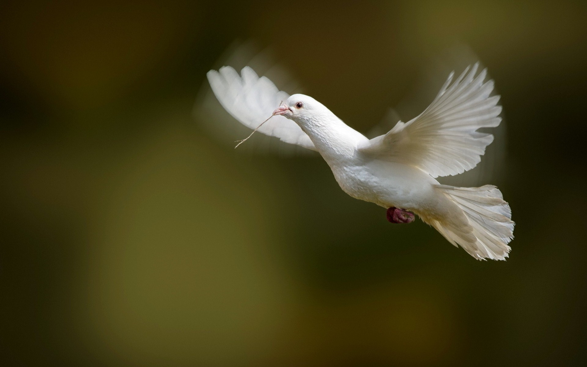 white dove bird flying photo wallpaper 1920x1200   Magic4Wallscom 1920x1200