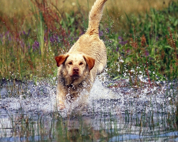 labrador retriever splashes Dogs Wallpaper Desktop Wallpaper 600x480