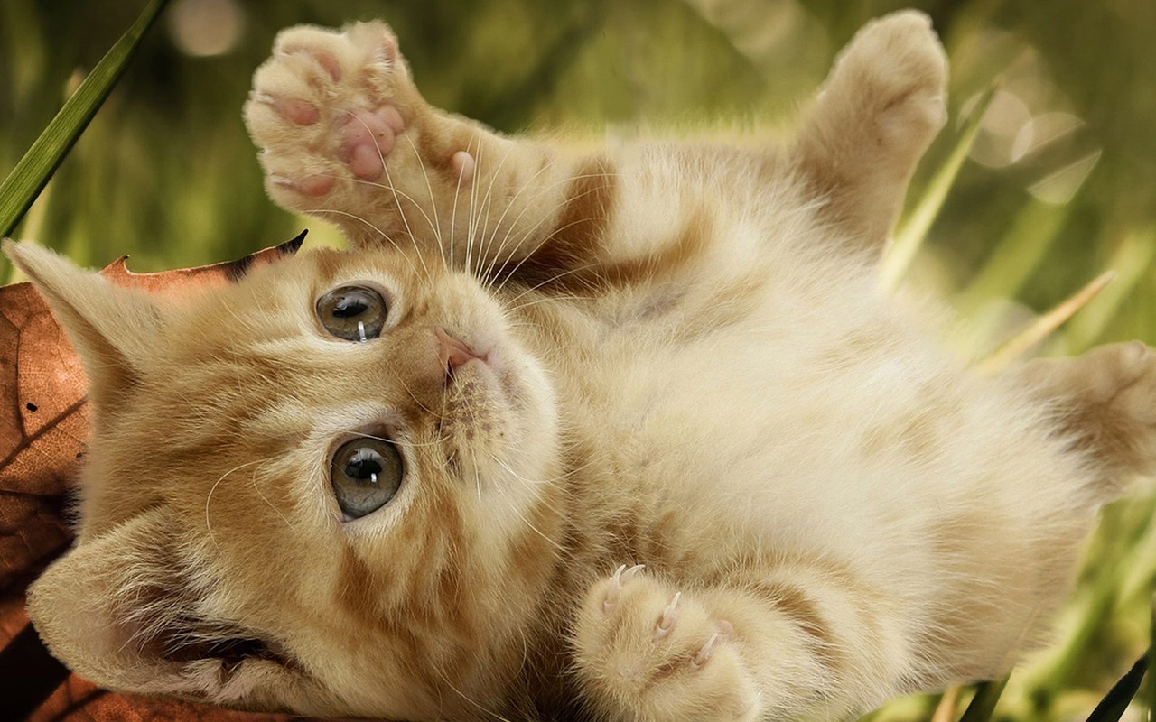Playful Kitten   Kittens Wallpaper 16155935 1280x800