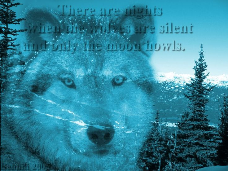 Gray Wolf Mountain Scene Wolf Wallpapers Backgrounds Screensaver 736x552