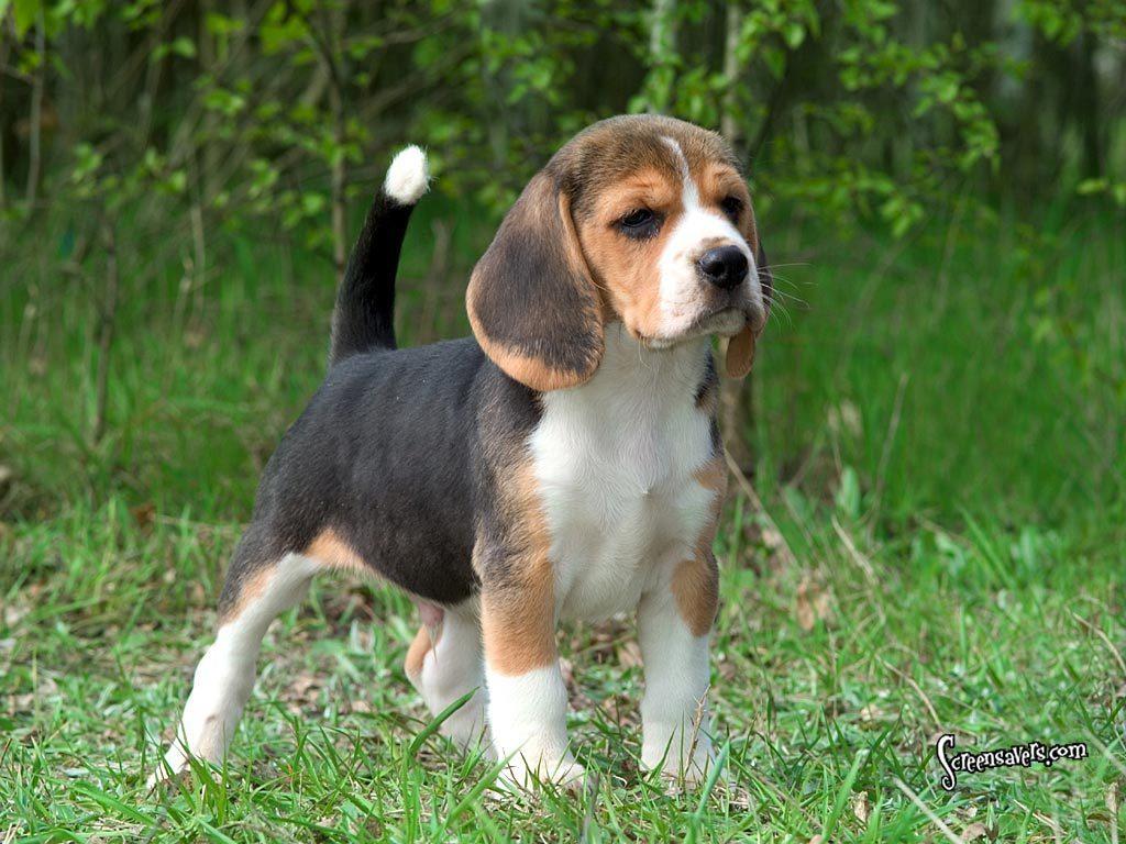 Here is a super cute beagle   Beagles Wallpaper 5514599 1024x768