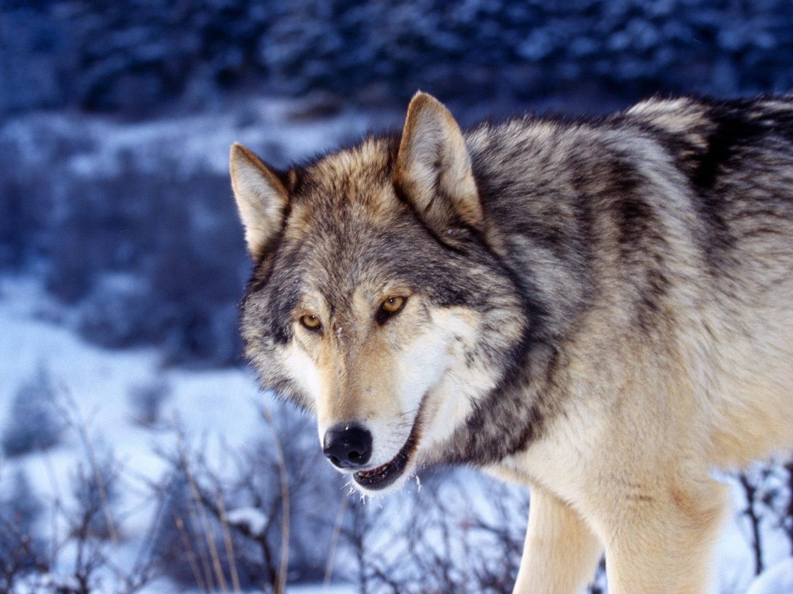 HD Grey Wolf Wallpapers HD Nature Wallpapers 1600x1200