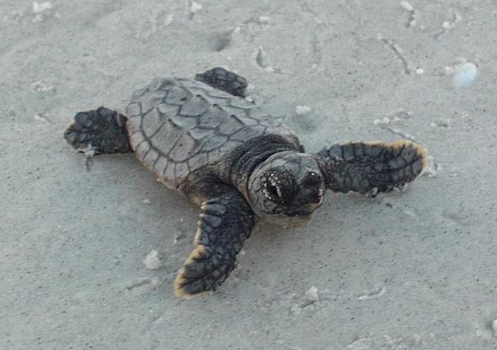 Tags adorable baby Cute loggerhead ocean sea turtles tiny turtle 709x500