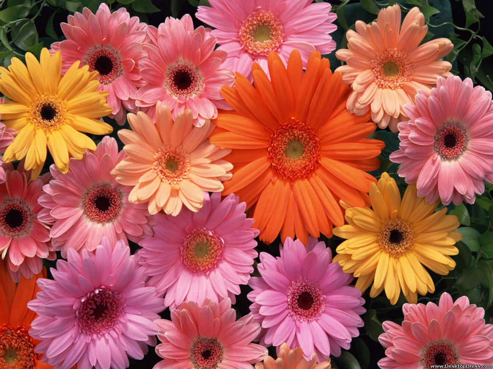 desktop wallpapers flowers gardens backgrounds gerbera daisy gerbera 1600x1200