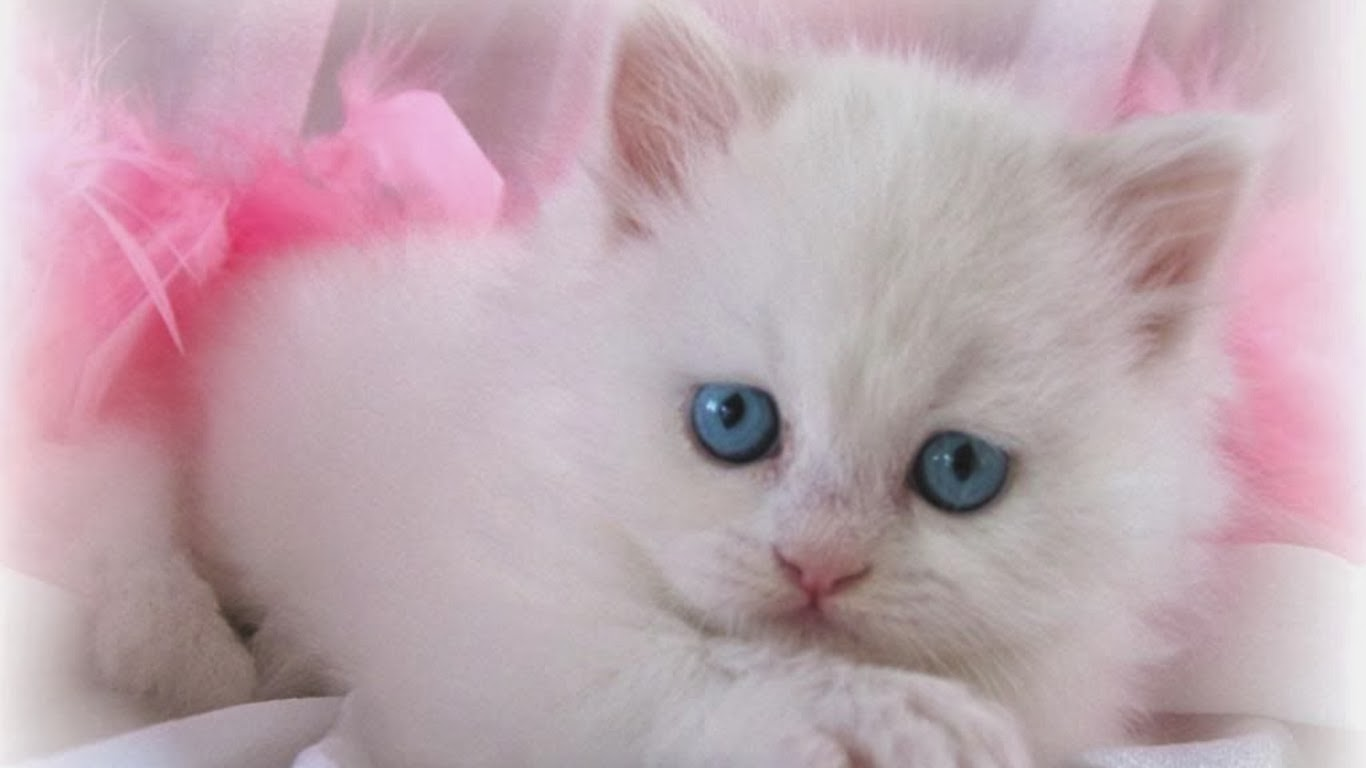 White Cat Wallpaper 1366x768