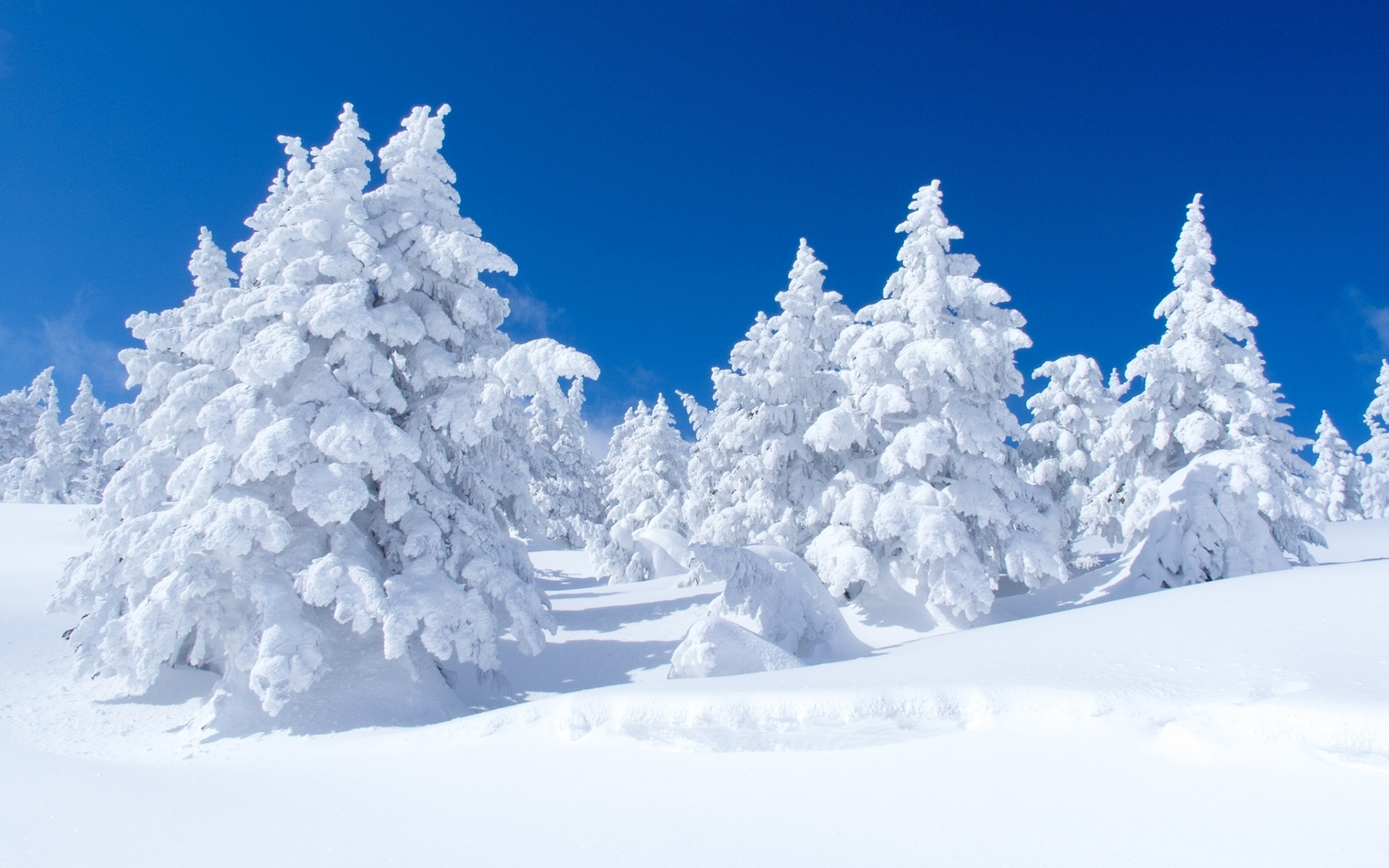 Snow Covered Pine Trees Computer Wallpapers Desktop 1920x1200