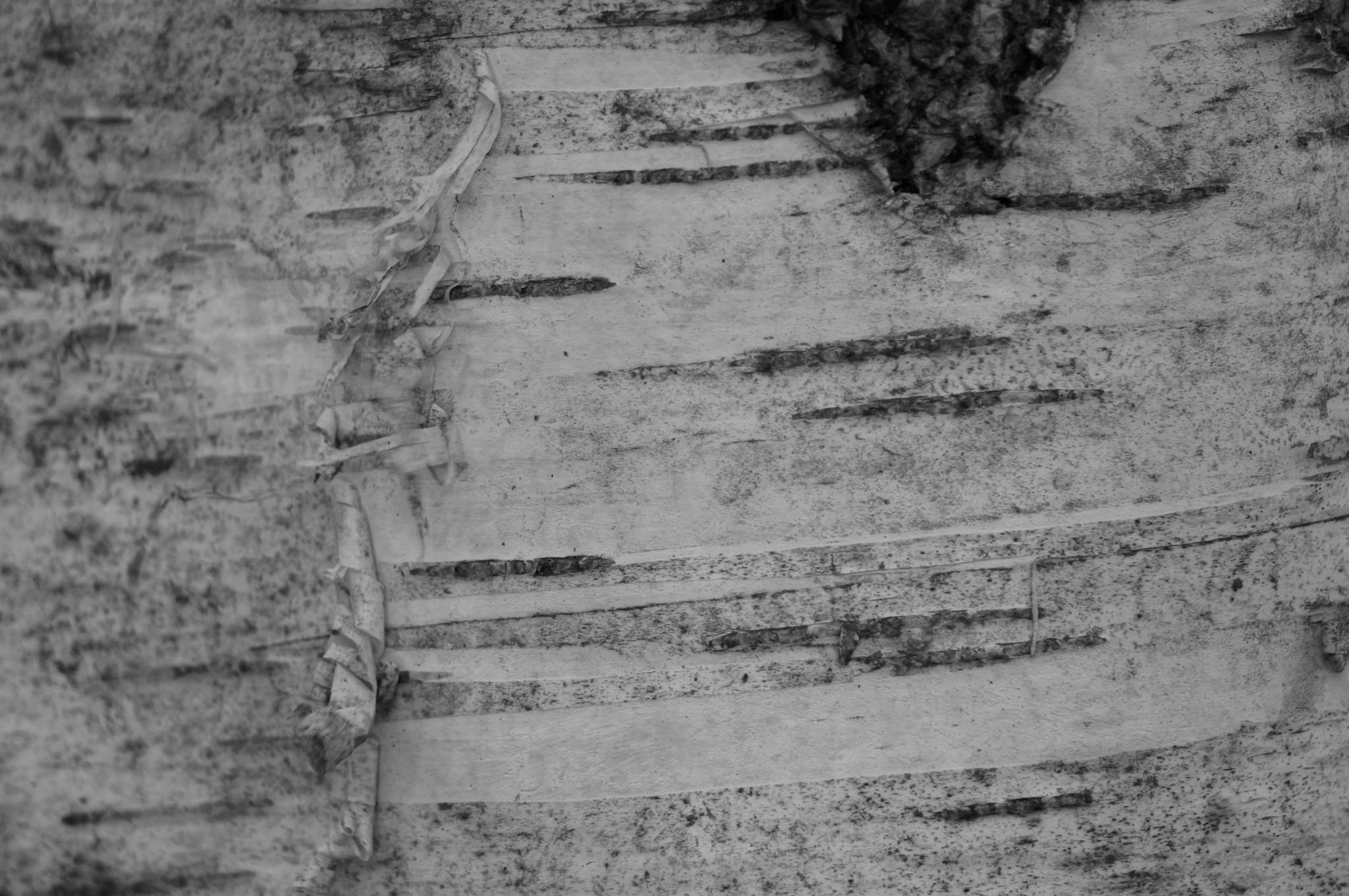 White Birch Bark Wallpaper Birch bark black and white 2048x1361