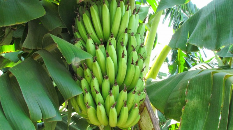 banana tree india download wallpaper download banana tree india in 800x449