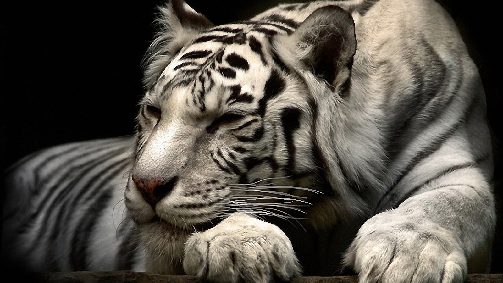 Siberian White Tiger Exclusive HD Wallpapers 2044 1600x900