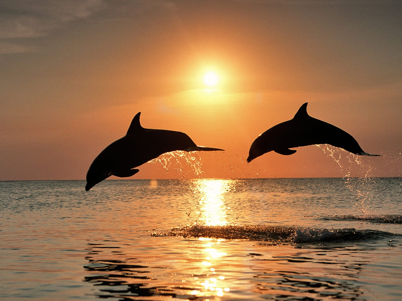 COOL WALLPAPERS bottlenose dolphins wallpapers 1600x1200