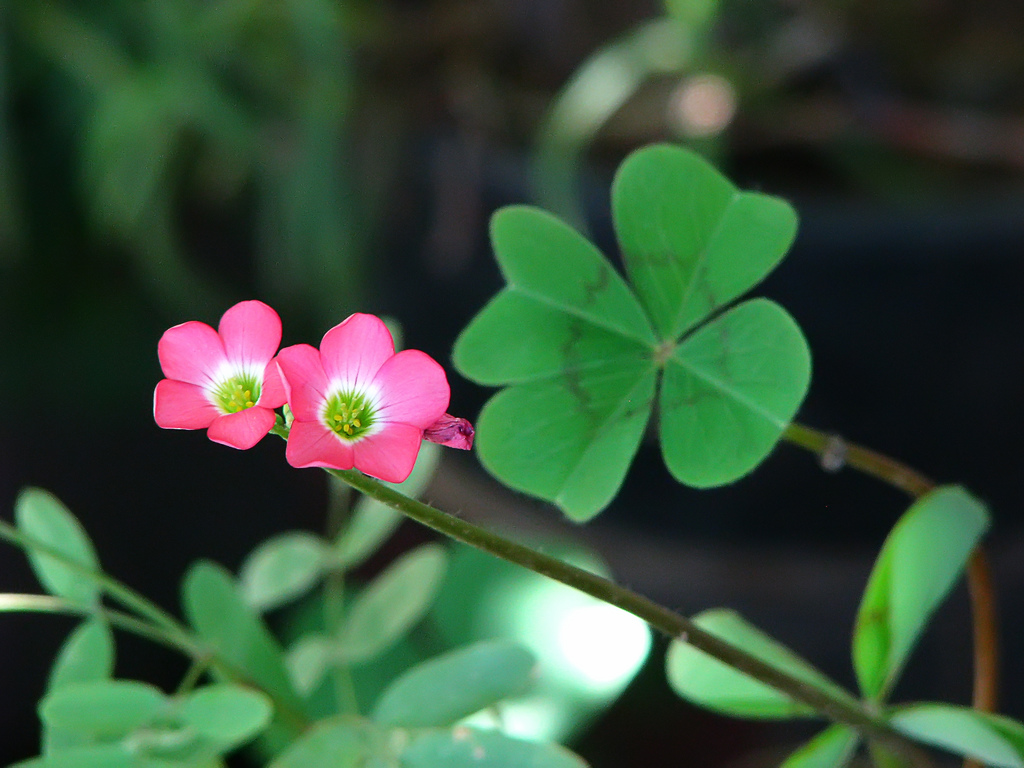 four leaf clover or oxalis and its flowers Flickr   Photo 1024x768