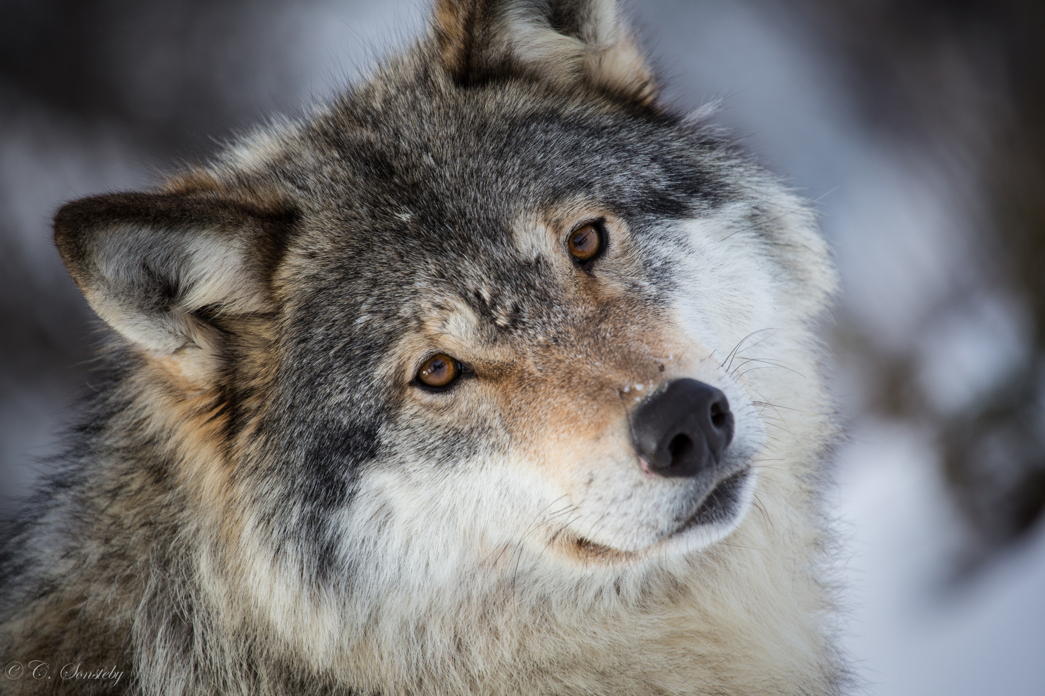 Wallpaper wolf gray wolf face eyes portrait wallpapers animals 2048x1365