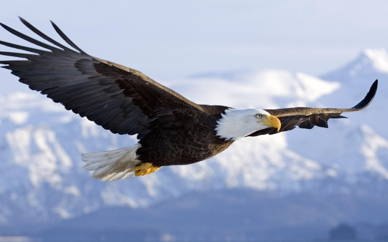 Category Archives The American bald eagle Haliaeetus Leucocephalus 2880x1800