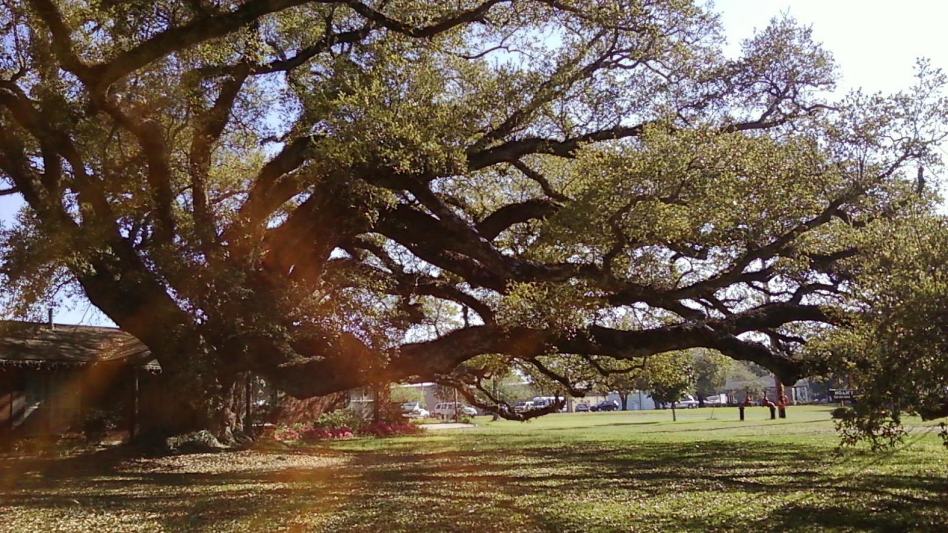 Beautiful Oak Tree Wallpaper 1920x1080