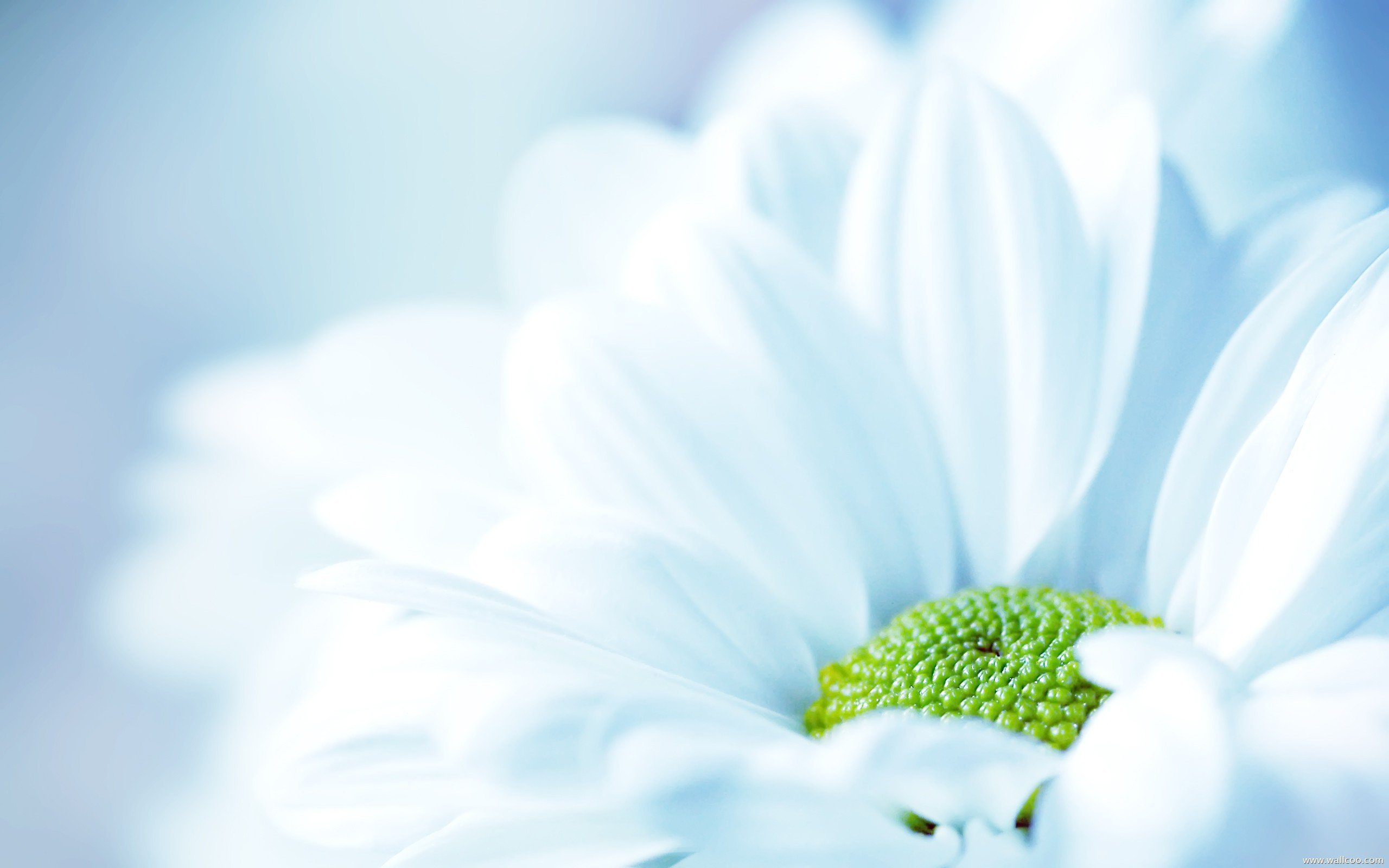 Download White Flower Background Wide Wallpaper In Flowers Plants 2560x1600