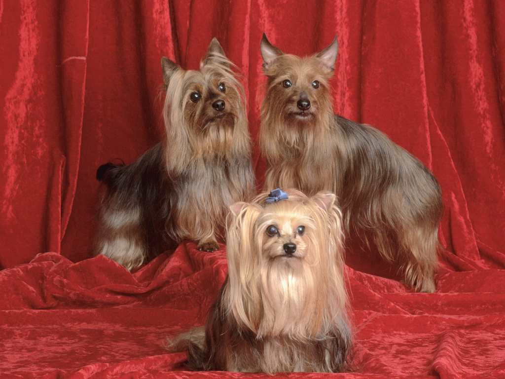 1024x768 wallpaper of yorkies - photo #3