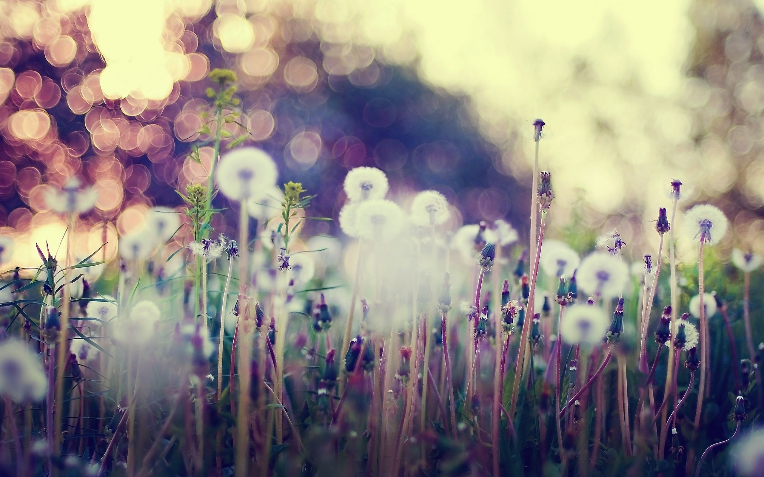 Download Dandelion Background 2560x1600