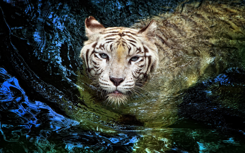 43 Tiger In Water Wallpaper On Wallpapersafari