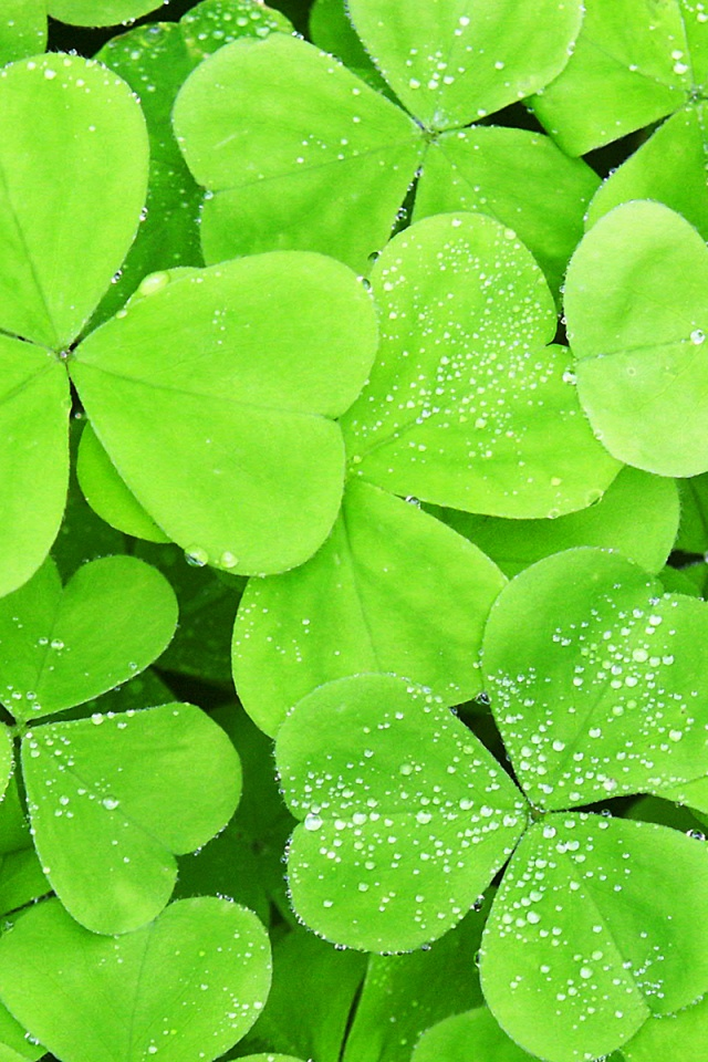640x960 Lots of clover leaf Iphone 4 wallpaper 640x960