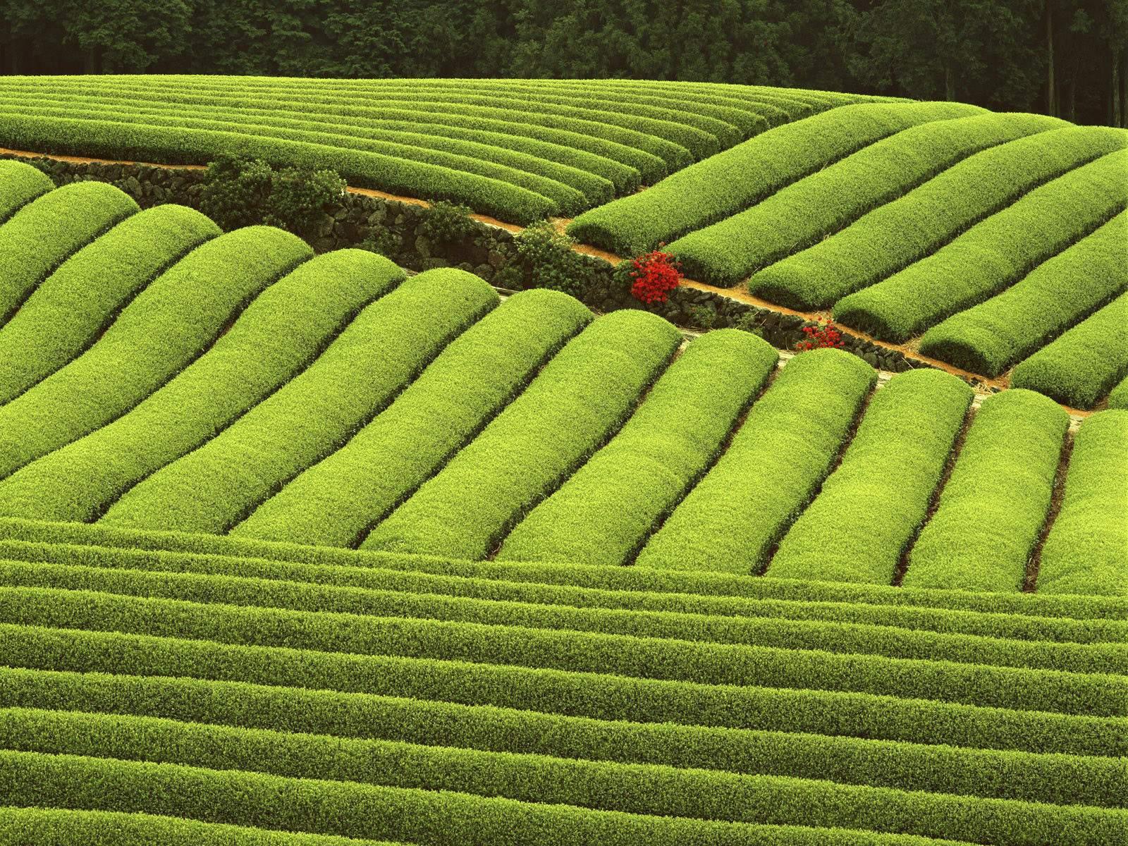 Download Nature Wallpaper wallpaper Tea plantation 1600x1200