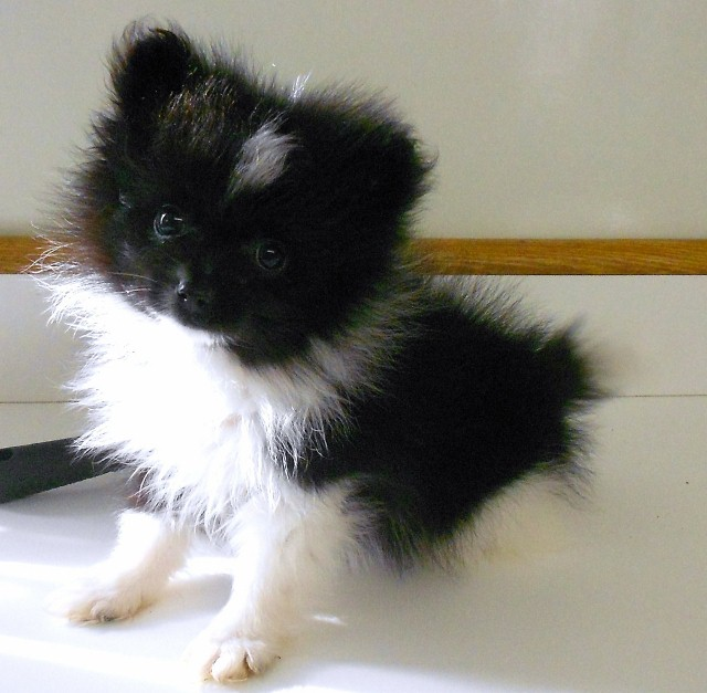 Related Pictures pomsky puppies