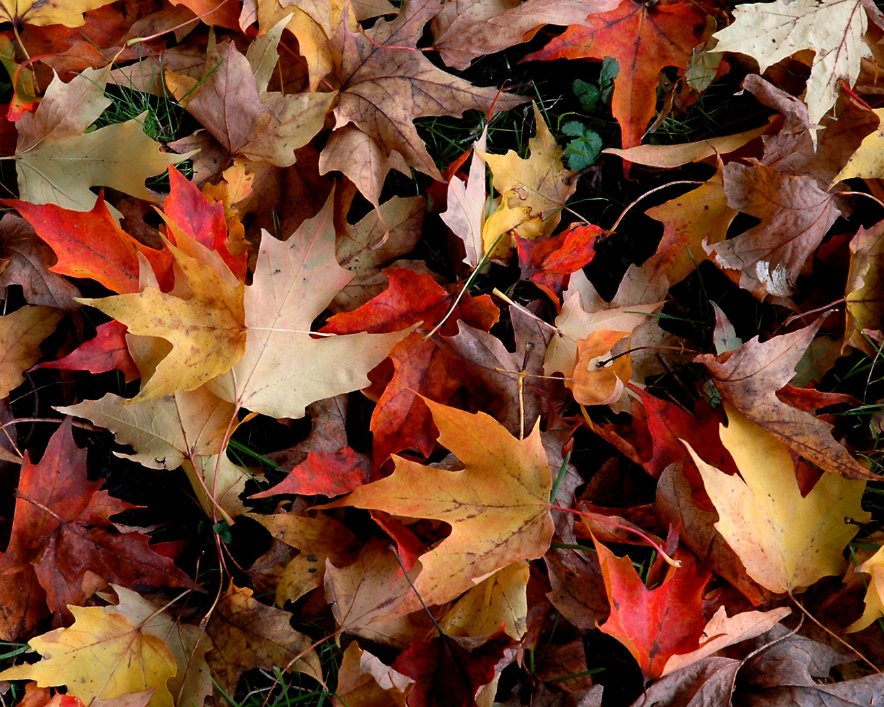 very pretty autumn leaves desktop wallpaper you can download for 1280x1024
