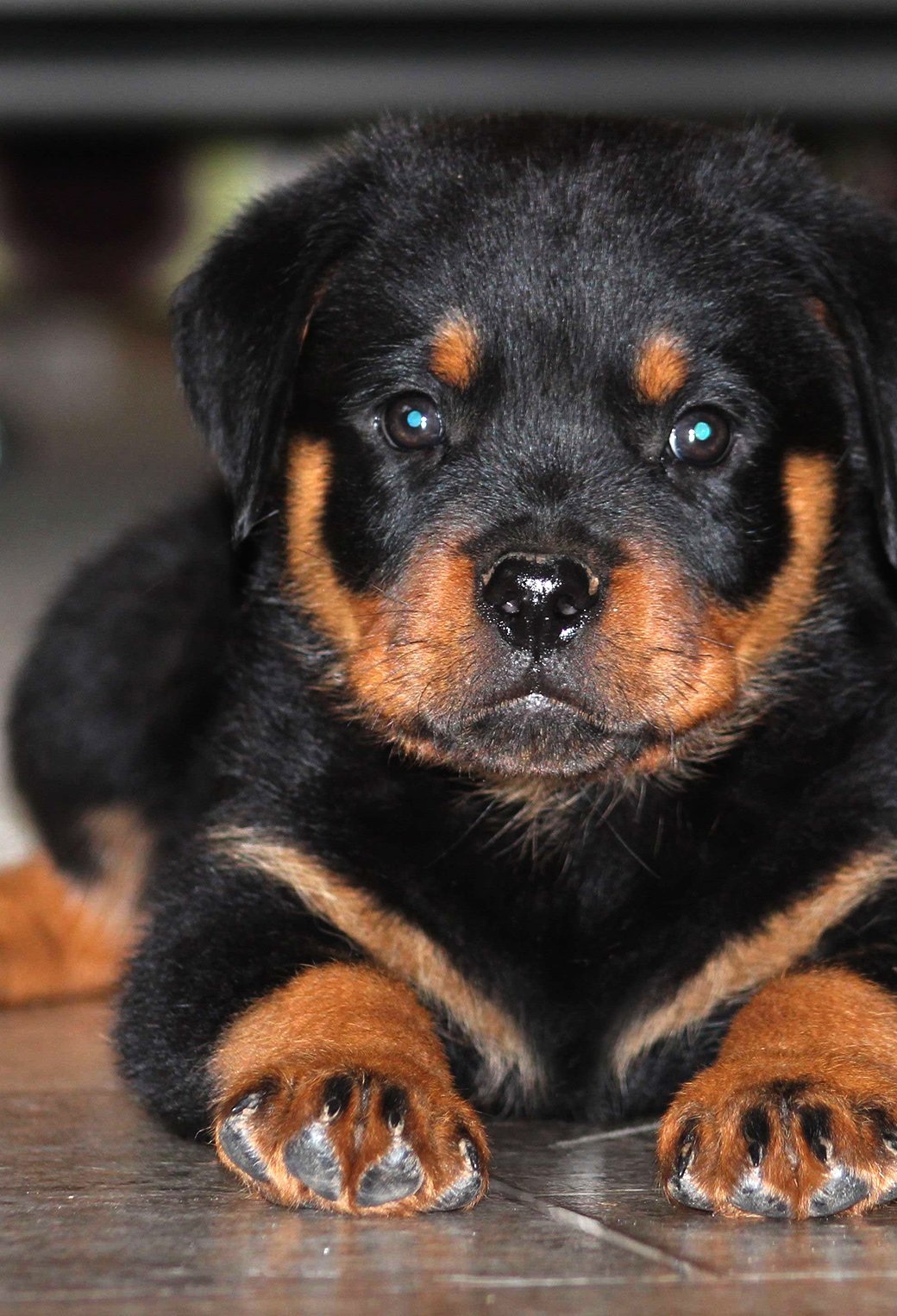 Here To Download The Cute Rottweiler Puppy Wallpaper Car Pictures 1040x1526