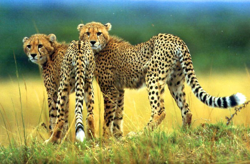 Cheetah Images Wallpaper Photos 9415044 800x525
