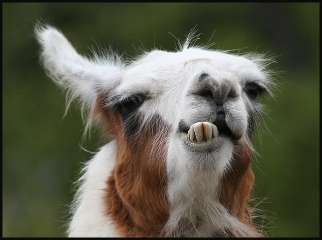 Funny Llama pictures Funny Animal 640x476