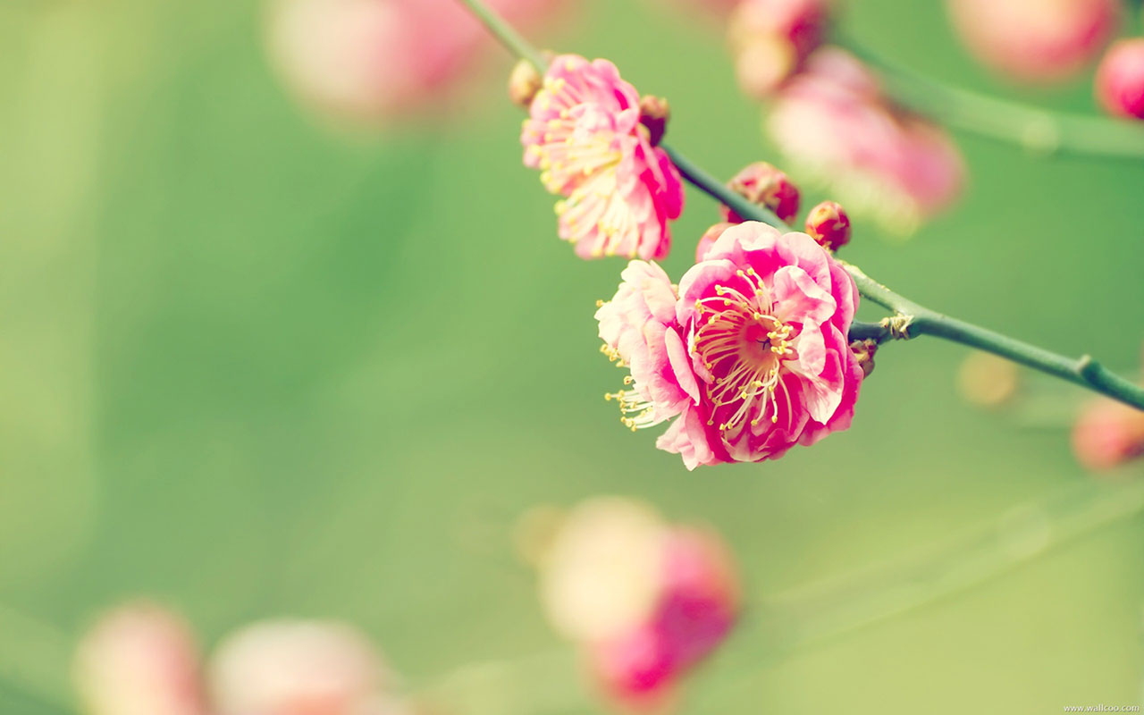 The plum blossom opening in early spring Wallpapers 1280x800