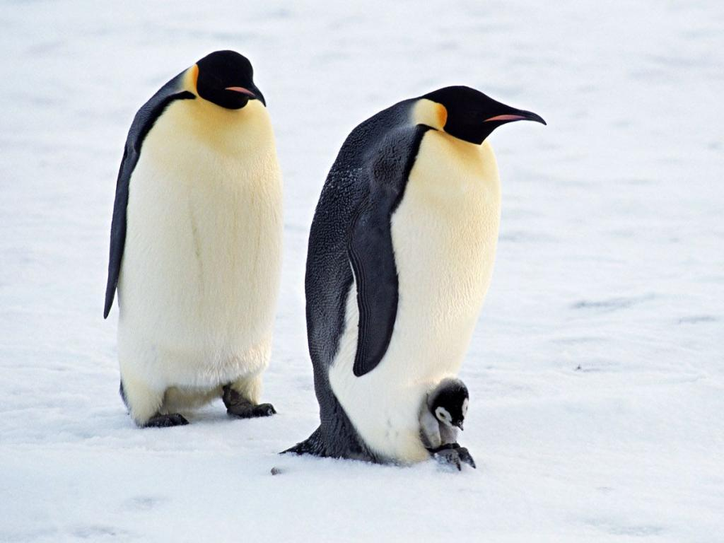 Cute Penguin Wallpapers High Definition Wallpapers 1024x768