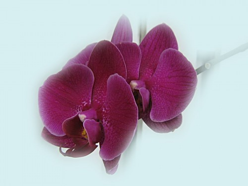 purple orchids couple 2683 Wallpaper 500x375