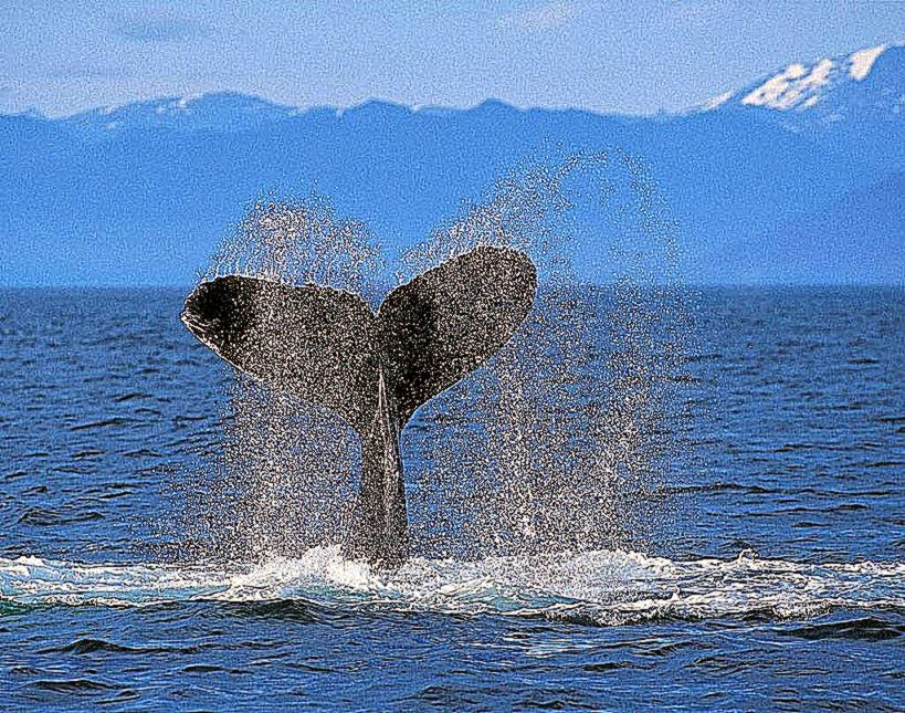 Humpback Whale Wallpapers Wallpapers Records 819x645